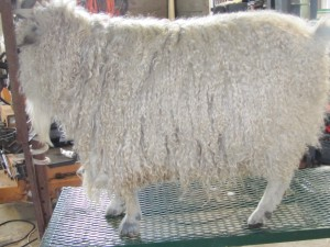 Abe 2013, before shearing.