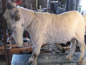 Abe 2012, after shearing.