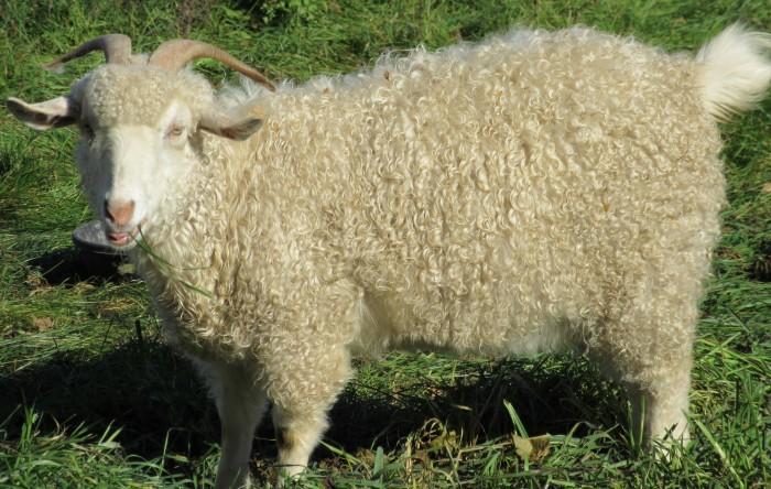 Gun Plain Pygoras Adara, 4.5 years. Sire: Hawks Mountain Ranch Blakk Knight, Dam: Shady Creek Farm Jenny. Type B fleece, white.