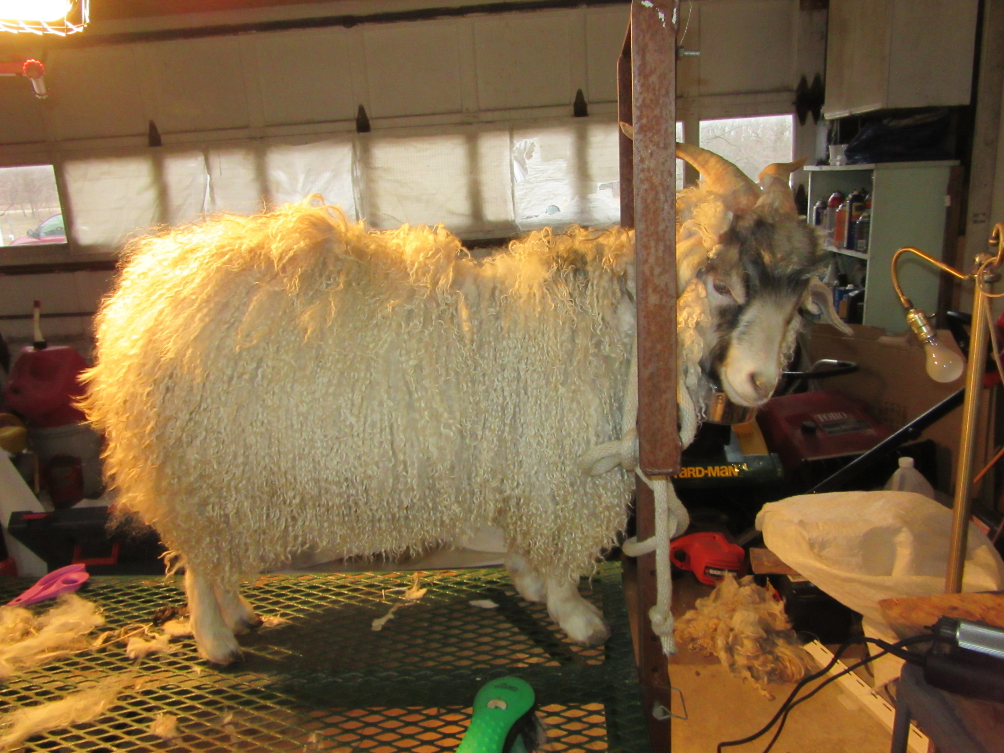 Domingo - before shearing.