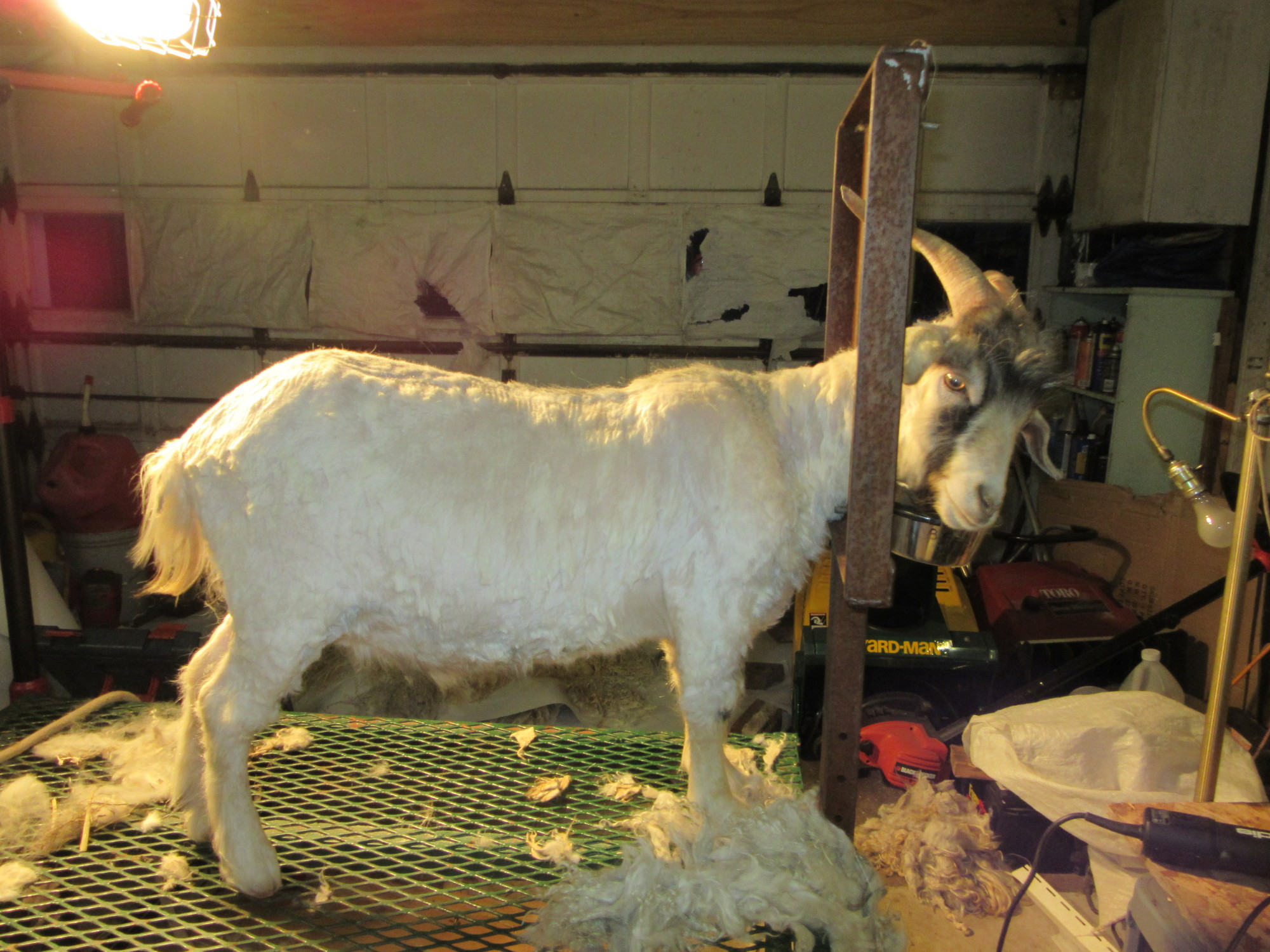 Domingo - after shearing.