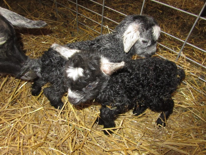 Claire and Cato have twins , a curly black frosted doeling and a dark grey agouti frosted buckling.