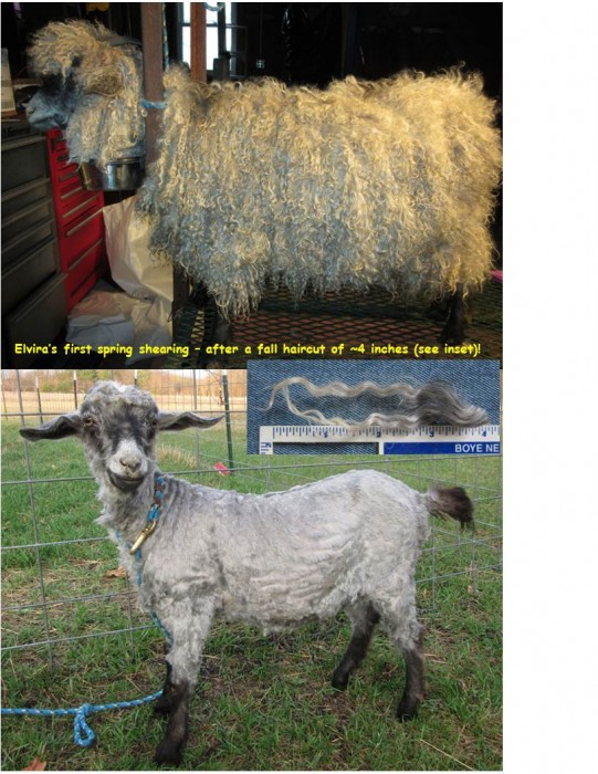Platinum yearling doe - a rating based on both fleece color & yield!