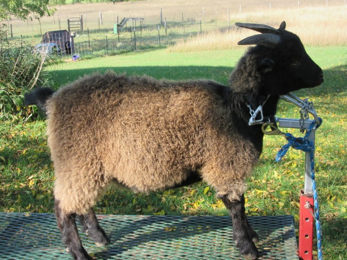 Gun Plain Pygoras Farley, 7 mos. Sire: Baseball Fields Cato, Dam: Hawks Mountain Ranch Dreamcatcher. Type-B fleece, brown.