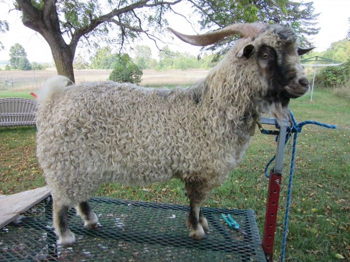 Gun Plain Pygoras Domingo, 2.5 yrs. Sire: Hollyhock Hollow Atlas, Dam: Gun Plain Pygoras Adara. Type-a fleece, white.